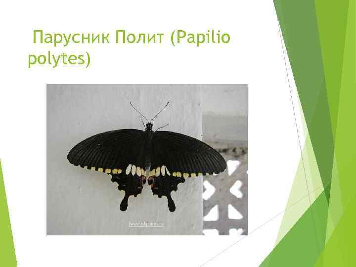 Парусник Полит (Papilio polytes)