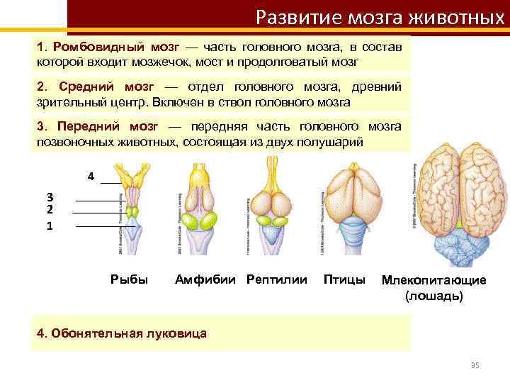 Развитие мозга животных 1. Ромбовидный мозг — часть головного мозга, в состав которой входит