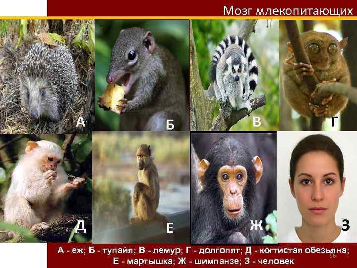 Мозг млекопитающих А Б В Д Е Ж Г З А - еж; Б