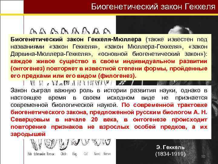 Биогенетический закон Геккеля-Мюллера (также известен под названиями «закон Геккеля» , «закон Мюллера-Геккеля» , «закон