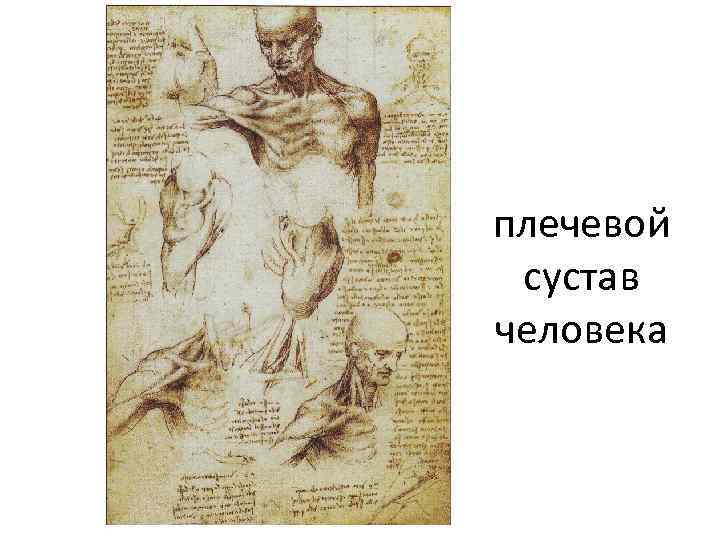 плечевой сустав человека