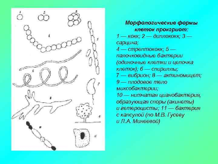 Морфологические формы клеток прокариот: 1 — кокк; 2 — диплококк; 3 — сарцина; 4