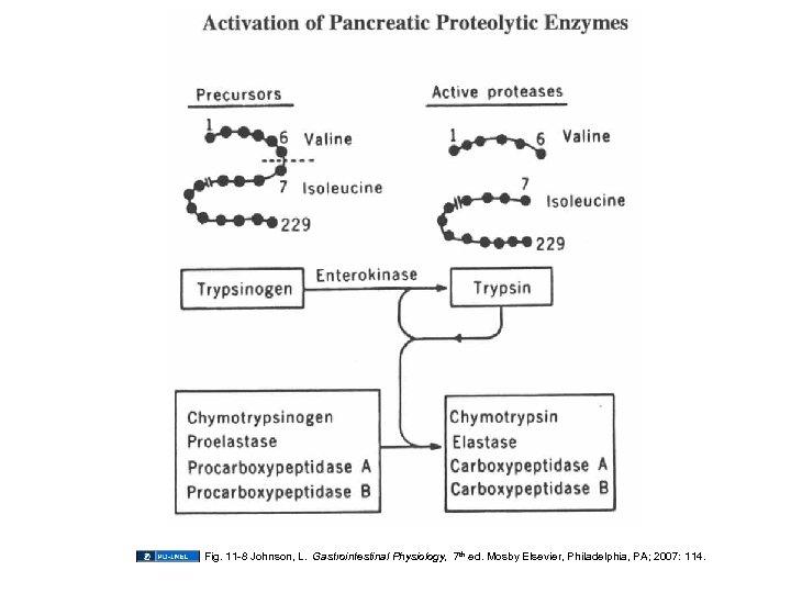 Fig. 11 -8 Johnson, L. Gastrointestinal Physiology, 7 th ed. Mosby Elsevier, Philadelphia, PA;