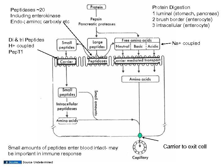 Peptidases ~20 Including enterokinase Endo-; amino; carboxly etc Di & tri Peptides H+ coupled