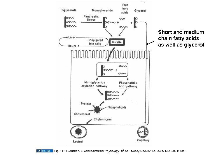 Short and medium chain fatty acids as well as glycerol Fig. 11 -14 Johnson,