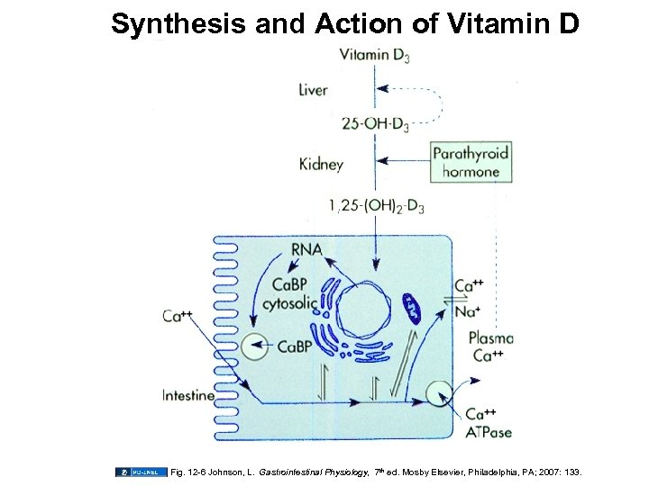 Synthesis and Action of Vitamin D Fig. 12 -6 Johnson, L. Gastrointestinal Physiology, 7