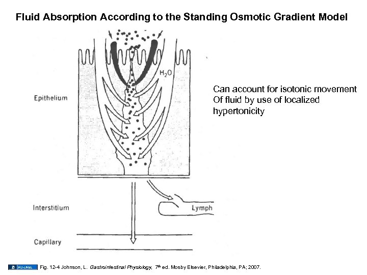 Fluid Absorption According to the Standing Osmotic Gradient Model Can account for isotonic movement