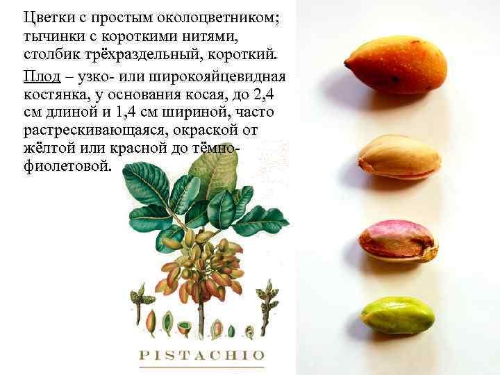 Цветки с простым околоцветником; тычинки с короткими нитями, столбик трёхраздельный, короткий. Плод – узко-