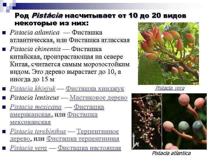 n n n n Род Pistácia насчитывает от 10 до 20 видов некоторые из