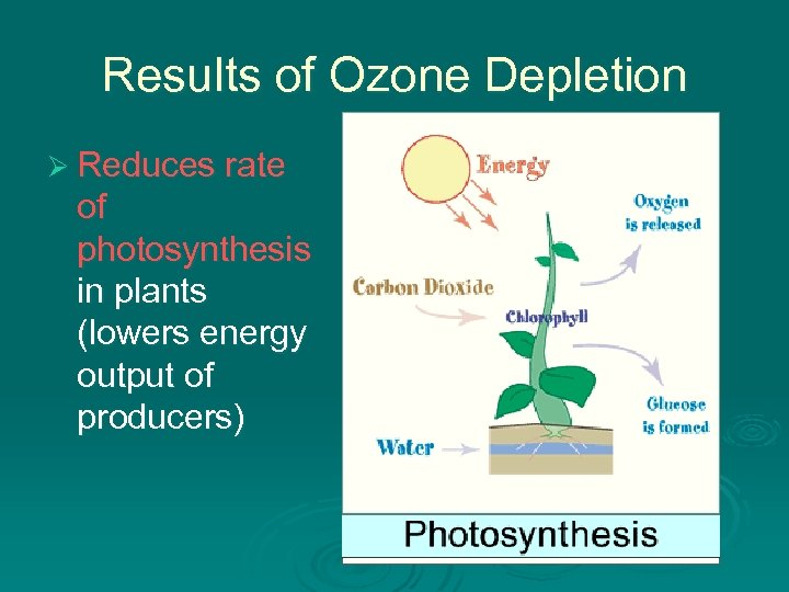 Results of Ozone Depletion Ø Reduces rate of photosynthesis in plants (lowers energy output