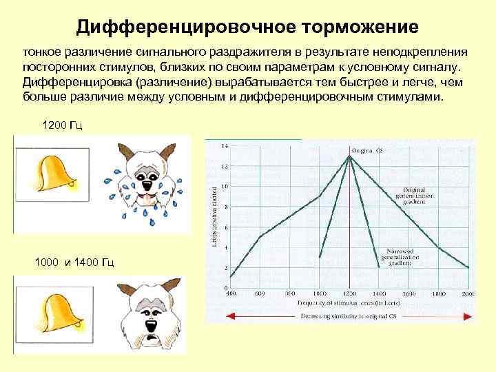 Дифференцировочное торможение тонкое различение сигнального раздражителя в результате неподкрепления посторонних стимулов, близких по своим