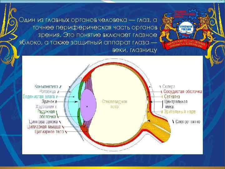 Один из главных органов человека — глаз, а точнее периферическая часть органов зрения. Это