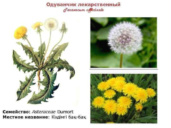 картинки лекарственных растений казахстана гортензия