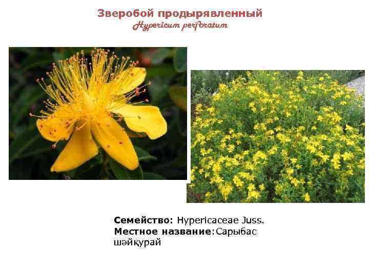 гостиная, картинки лекарственных растений казахстана вид укладки
