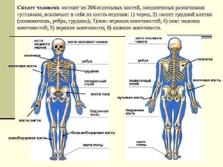 того название костей и суставов в картинках сфотографировать цветы, которых