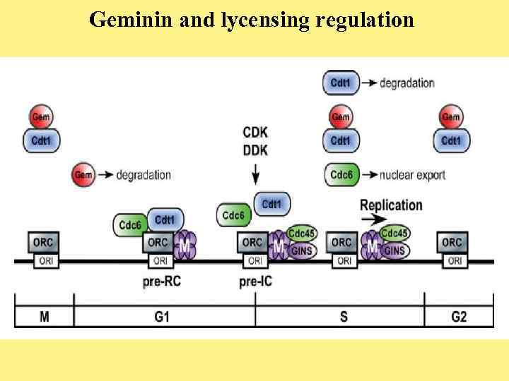 Geminin and lycensing regulation