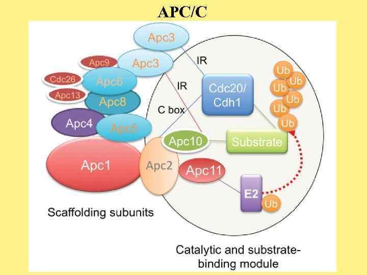 APC/C