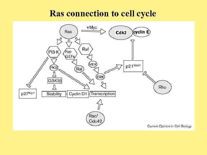 Ras connection to cell cycle