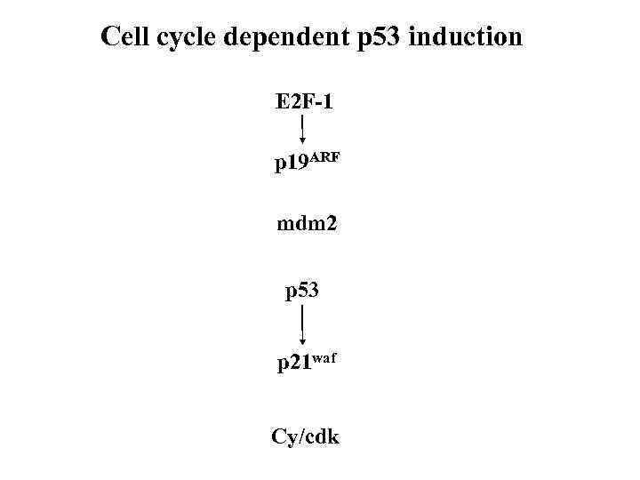 Cell cycle dependent p 53 induction E 2 F-1 p 19 ARF mdm 2