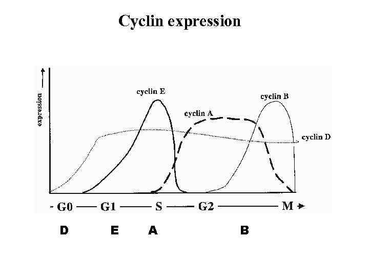 Cyclin expression D E A B