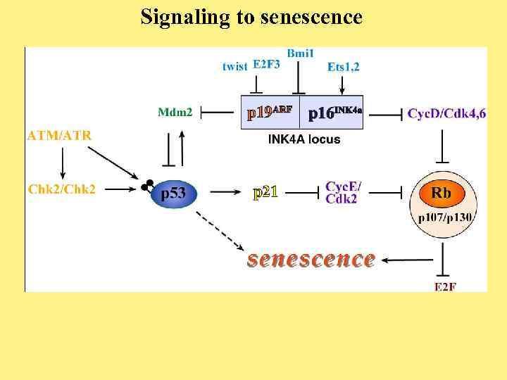 Signaling to senescence