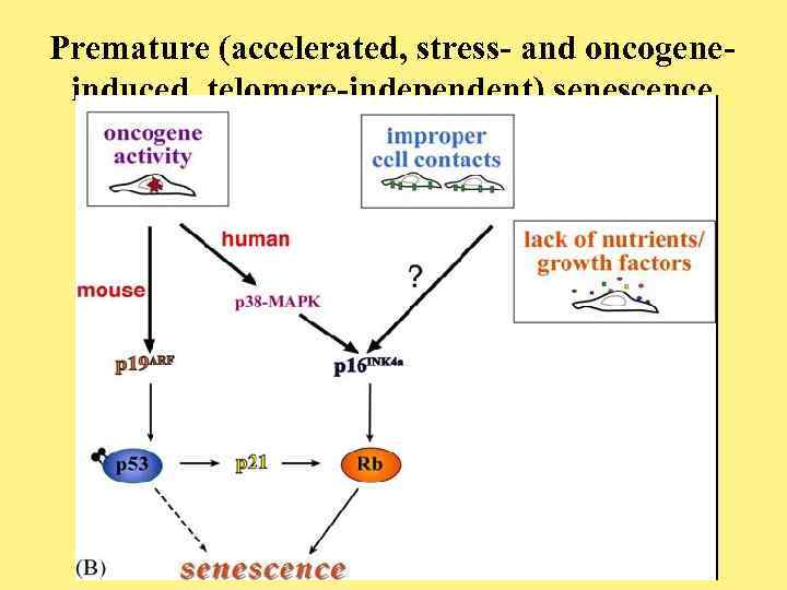 Premature (accelerated, stress- and oncogeneinduced, telomere-independent) senescence