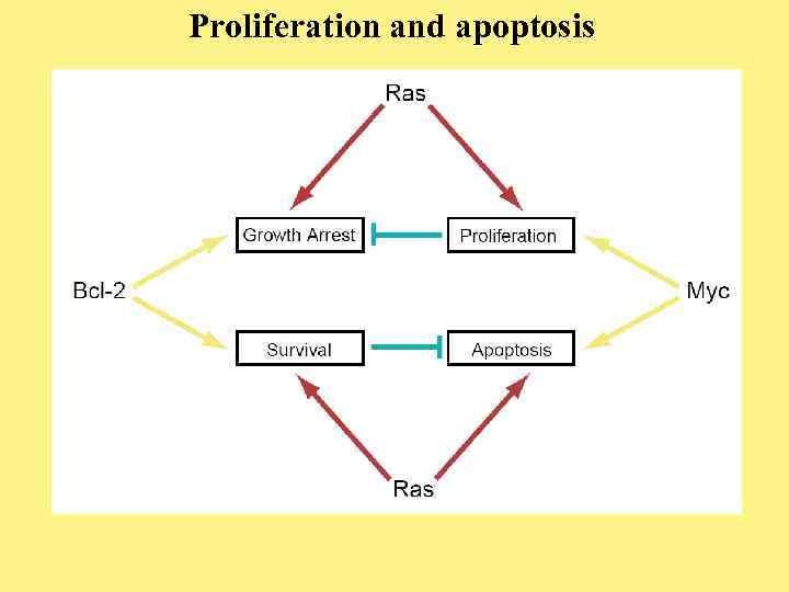 Proliferation and apoptosis