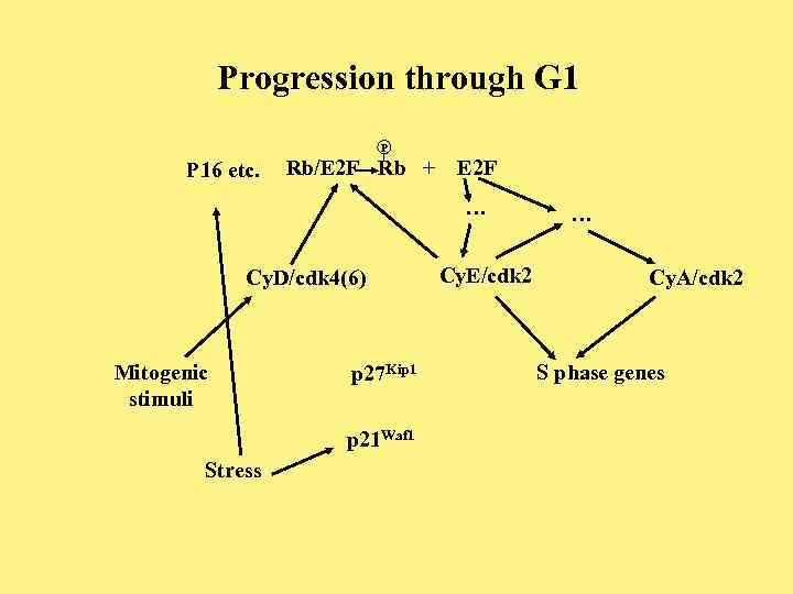 Progression through G 1 P P 16 etc. Rb/E 2 F Rb + E