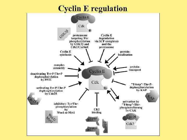 Cyclin E regulation