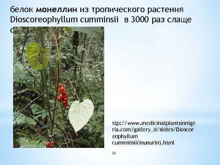 белок монеллин из тропического растения Dioscoreophyllum cumminsii в 3000 раз слаще сахарозы ttp: //www.