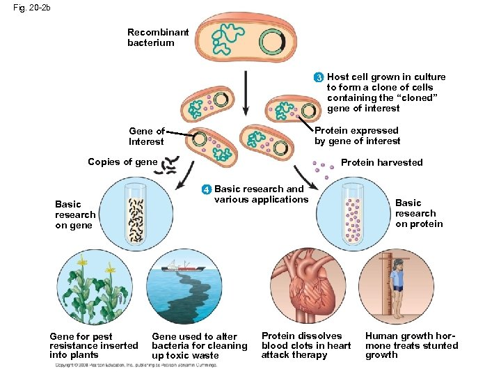 Fig. 20 -2 b Recombinant bacterium 3 Host cell grown in culture to form