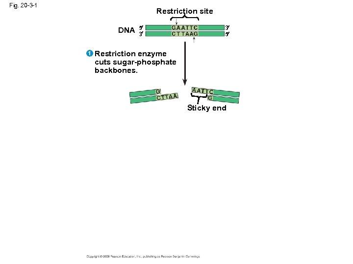 Fig. 20 -3 -1 Restriction site DNA 1 5 3 3 5 Restriction enzyme