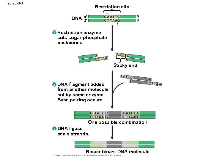 Fig. 20 -3 -3 Restriction site DNA 1 5 3 3 5 Restriction enzyme