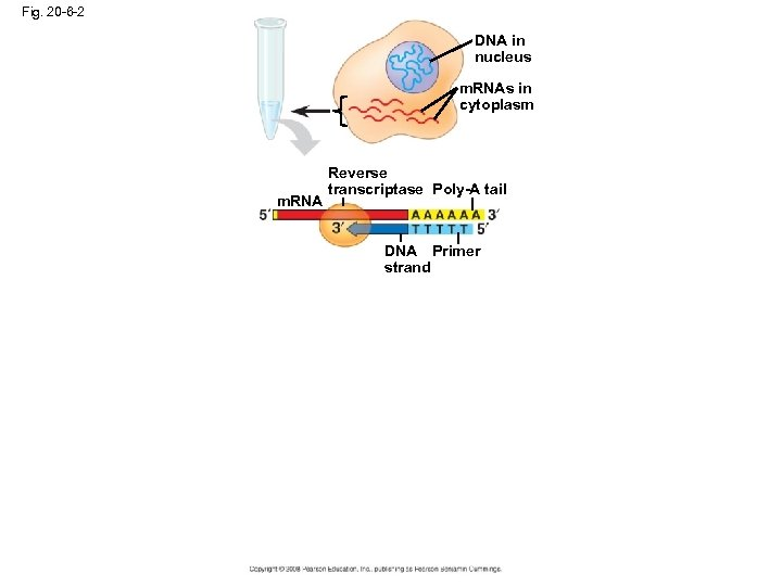 Fig. 20 -6 -2 DNA in nucleus m. RNAs in cytoplasm m. RNA Reverse
