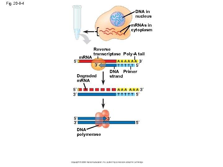 Fig. 20 -6 -4 DNA in nucleus m. RNAs in cytoplasm m. RNA Reverse