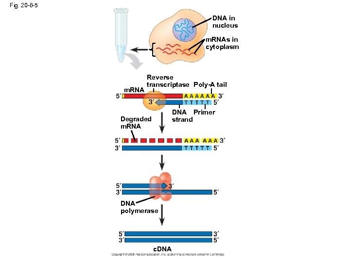 Fig. 20 -6 -5 DNA in nucleus m. RNAs in cytoplasm m. RNA Reverse