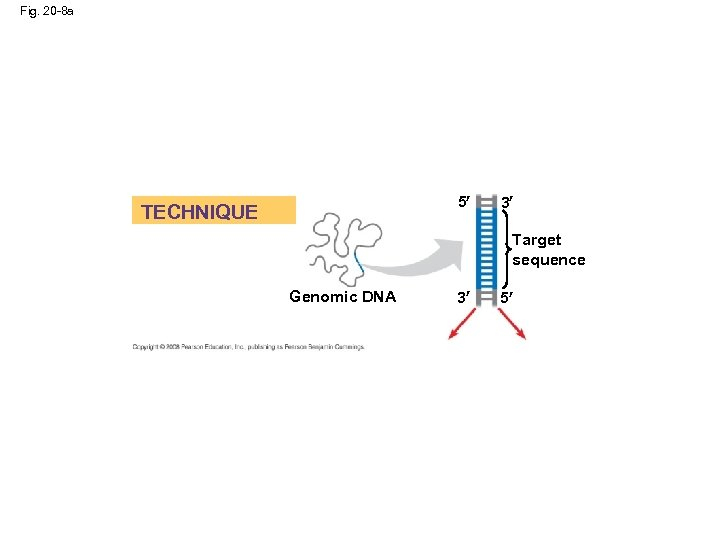 Fig. 20 -8 a 5 TECHNIQUE 3 Target sequence Genomic DNA 3 5
