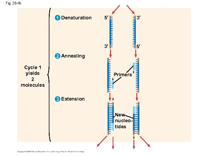 Fig. 20 -8 b 5 3 3 1 Denaturation 5 2 Annealing Cycle 1
