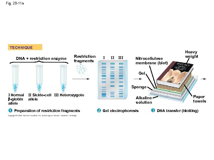 Fig. 20 -11 a TECHNIQUE DNA + restriction enzyme Restriction fragments I II III