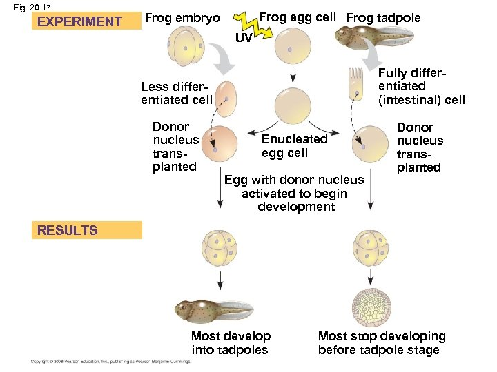 Fig. 20 -17 EXPERIMENT Frog egg cell Frog tadpole Frog embryo UV Less differentiated