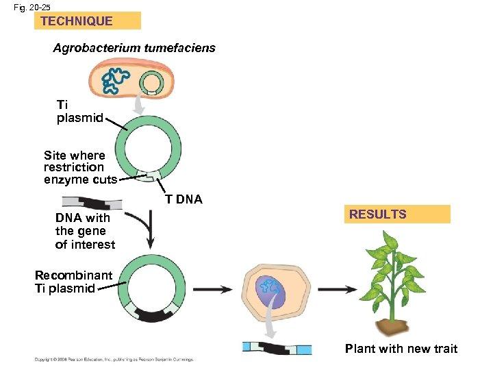 Fig. 20 -25 TECHNIQUE Agrobacterium tumefaciens Ti plasmid Site where restriction enzyme cuts T