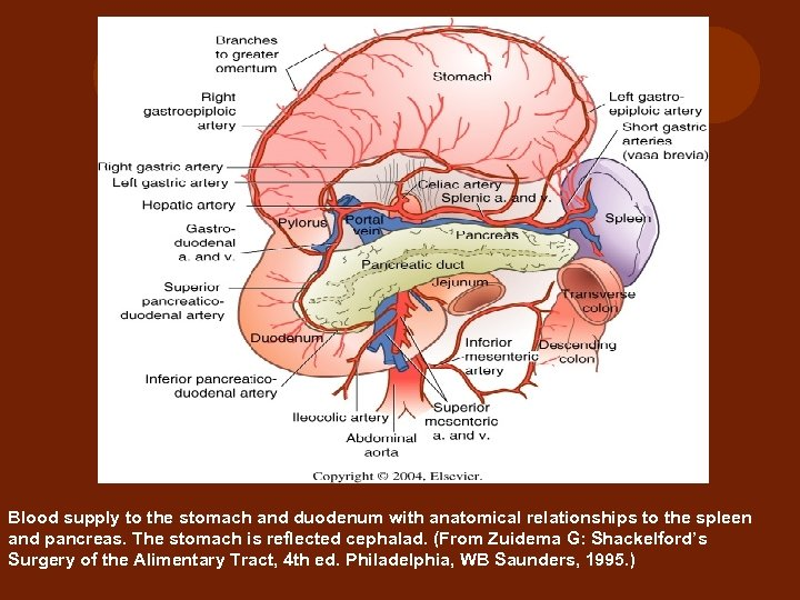 Blood supply to the stomach and duodenum with anatomical relationships to the spleen and