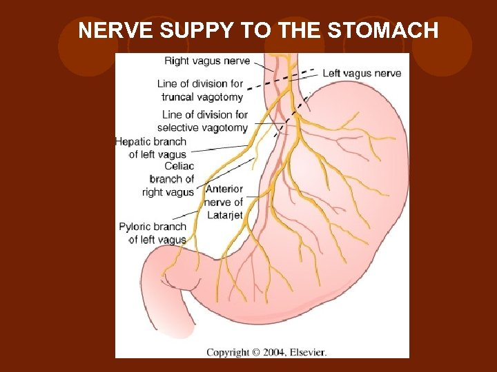 NERVE SUPPY TO THE STOMACH