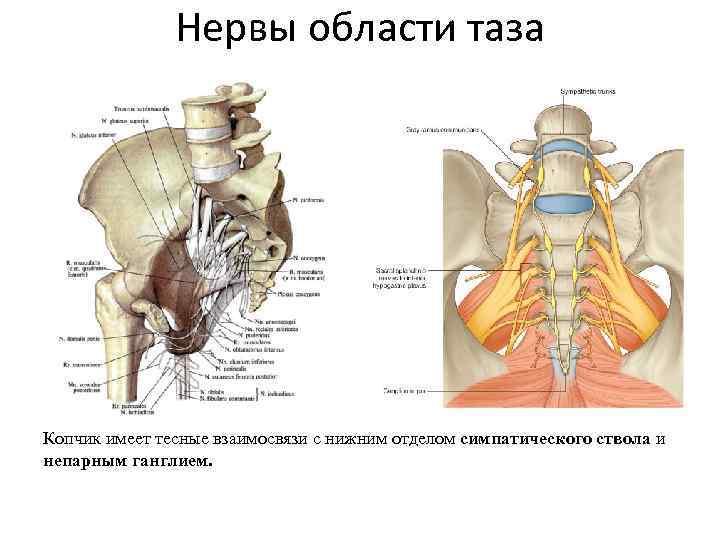 Нервы области таза Копчик имеет тесные взаимосвязи с нижним отделом симпатического ствола и непарным