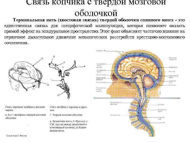 Связь копчика с твердой мозговой оболочкой Терминальная нить (хвостовая связка) твердой оболочки спинного мозга