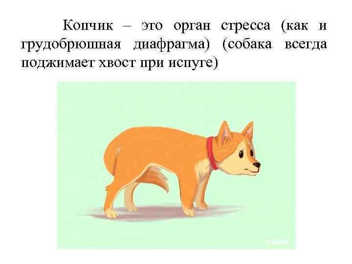 Копчик – это орган стресса (как и грудобрюшная диафрагма) (собака всегда поджимает хвост