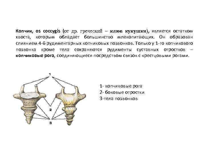 Копчик, os coccygis (от др. греческий – клюв кукушки), является остатком хвоста, которым обладает