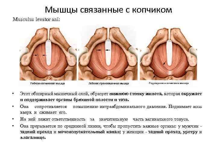 Мышцы связанные с копчиком Musculus levator ani: • • Этот обширный мышечный слой, образует