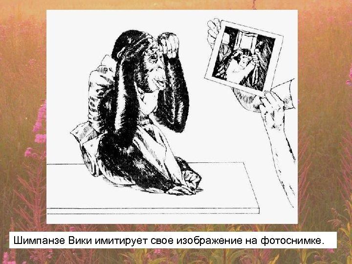 Шимпанзе Вики имитирует свое изображение на фотоснимке.