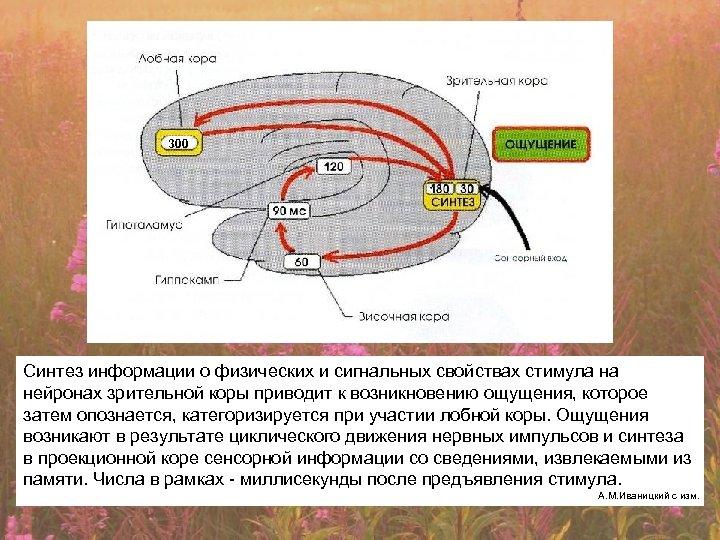 300 Синтез информации о физических и сигнальных свойствах стимула на нейронах зрительной коры приводит
